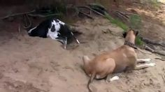 Great Dane Being A Jerk To His Buddy