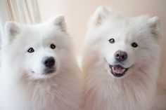 Maci and Happy Samoyed Dogs, Pet Dogs, Dog Cat, Doggies, Cute Baby Animals, Animals And Pets, Cute Puppies, Dogs And Puppies, Yorkshire Terrier