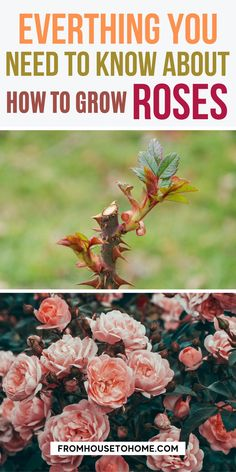 Do you love the beauty of roses but dread all the work that goes into planting them? Have no fear, we have a complete guide for how to plant your own rose garden. Whether it's in containers or in the ground, this essential guide will make sure you are prepared with everything from where and when to plant to what types of roses grow best in different climates. #fromhousetohome #gardening #roses #sunplants #fullsunplants Full Sun Garden, Full Sun Plants, Gardening For Beginners, Gardening Tips, Shade Garden, Garden Plants, Best Roses, Full Sun Perennials, Heirloom Roses