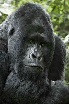 Lowland Gorilla Richard