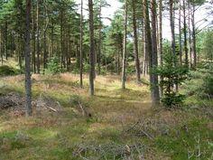 trætyper klitplantage - Google-søgning