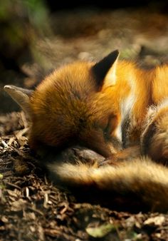 I've heard of people who make foxes their pets.. im determined to have one. ♥