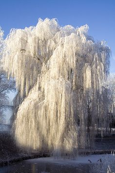Ice on a weeping willow tree. - Beautiful landscape