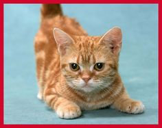 Little Red Munchkin cat  I WANT NOW!