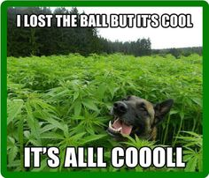 "Adorable image of a dog in a ""#marijuana"" field, saying: ""I lost the ball but it's cool, it's all coooll."" Description from pinterest.com. I searched for this on bing.com/images"