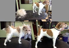 Before and after of a Hand Stripped Jack Russell
