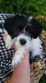 Morkie Puppy For Sale In Lehi Ut Usa Morkie Puppies