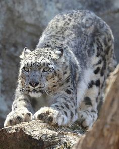 Snow Leopard (by Steve Tracy Photography on Flickr)