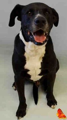SUPER URGENT Manhattan Center TROUBLE – A1078718 NEUTERED MALE, BLACK / WHITE, LABRADOR RETR MIX, 9 yrs OWNER SUR – ONHOLDHERE, HOLD FOR COURTESY Reason NYCHA BAN Intake condition UNSPECIFIE Intake Date 06/24/2016 http://nycdogs.urgentpodr.org/2016/06/trouble-a1078718/