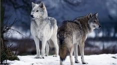A North American grey wolf and a European wolf at the Scottish Deer Centre, by Cupar in Fife. Coyotes, Large Animals, Cute Animals, Wild Animals, North American Wolf, Native American, Beautiful Creatures, Animals Beautiful, Wolf Goddess