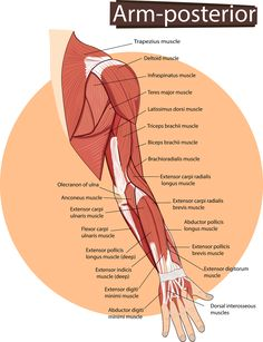 Understanding Forearm Pain: What Causes It and How to Find Relief without surgery or any drugs. Learn how self-care can be an effective treatment. Forearm Muscle Anatomy, Forearm Tendonitis, Infraspinatus Muscle, Extensor Muscles, Human Body Anatomy, Sciatica Pain, Muscle Pain