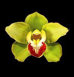 cymbidium orchids tattoo - Google Search