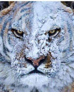 Tiger after a fight in the snow..