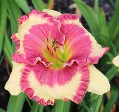Daylily, Hemerocallis 'Pink Cupid of Gascone' (Gaskins, 2012)