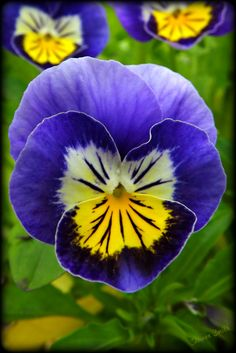 Pansy - this year we had such a cool summer that they didn't die in the heat.  Enough rain they are still blooming in September.