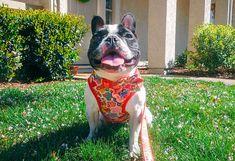 Small dog harness vest Girl Puppy dog harness Custom Flower Bulldog Puppies, Cute Puppies, Dogs And Puppies, Huge Dogs, Small Dogs, Dog Safety, Cute Gif, Dog Harness, Puppy Love