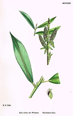 """Sowerby's English Botany - """"FINE-BASKET OSIER"""" - Hand-Colored Litho - 1873"""
