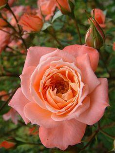 Miniature Climbing Rose: Rosa 'Patio Queen' (U.K., 1992)
