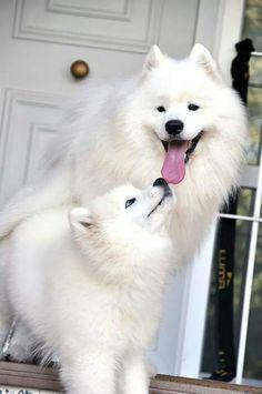 Samoyed Dogs Mais
