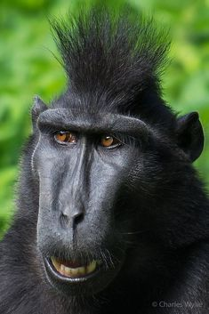 Sulawesi Black Crested Macaque @ Durrell Wilflife Conservation Trust (I know just how he feels! Unusual Animals, Rare Animals, Animals And Pets, Funny Animals, Wild Animals, Cutest Animals, Black Animals, Primates, Mammals