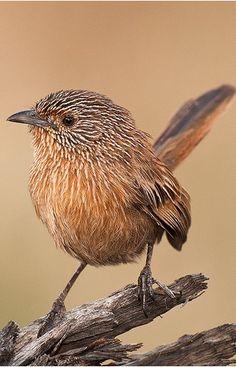 Maluro sombrío - Dusky Grasswren - Zimtgrasschlüpfer - Amytis de Purnell