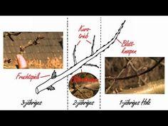 Obstbaumschnitt Der Kurs Theorie Kap.3 Der Leitast - YouTube