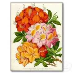 """""""Hardy Azaleas"""" by Sir Joseph Paxton. This print is from the rare work, Paxton's Flower Garden. Sir Joseph painted some of the most vivid and splendidly coloured botanical prints ever produced."""