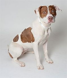 Pictures of Lara a Pit Bull Terrier for adoption in Columbus, OH who needs a loving home.