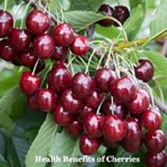 #Cherries are not only #delicious but also pack fo #vitamins and #plant_compounds with powerful effects. Here are 15 impressive #health benefits fo cherries for living #healthier. Growing Cherry Trees, Growing Tree, Growing Plants, Health Benefits Of Cherries, Growing Raspberries, Fruit Photography, Dried Figs, Exotic Fruit, Fig Tree