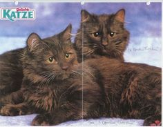 Photo of 2 Chantilly Cats.Looks like it came out of a Magazine or Calendar Chantilly Cat, Calendar, Things To Come, Magazine, Album, Animals, Animales, Animaux, Warehouse