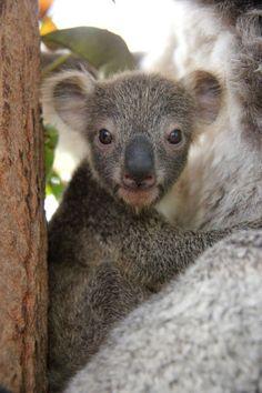 ain't no cute like koala cute...