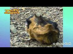 Zoo Safari - Cavia's - Guinea Pig - Huiscavia