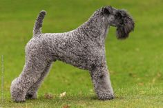 Kerry Blue Terrier: Royal Canin. Kerry Blue Terrier dog art portraits, photographs, information and just plain fun. Also see how artist Kline draws his dog art from only words at drawDOGS.com #drawDOGS http://drawdogs.com/product/dog-art/kerry-blue-terrier-dog-portrait-by-stephen-kline/ He also can add your dog's name into the lithograph.