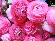 Bulbi Ranunculus Roz (Piciorul Cocosului)