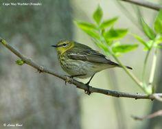 Cape May Warbler - eBirdr