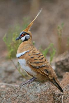 Spinifex Pigeon (Geophaps plumifera). There are only two Australian pigeon species with an erect crest: the Spinifex Pigeon and the Crested Pigeon. The Spinifex Pigeon is the smaller of the two, measuring between 8 to 9.6 inches.