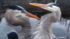 great blue herons at sapsucker woods pond via Bird Cams