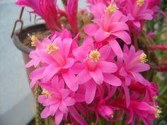 Disocactus flagelliformis - Rat Tail Cactus → Plant characteristics and more photos at: http://www.worldofsucculents.com/?p=538