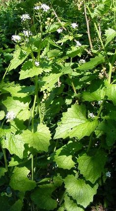Ein Blog voller Rezepte und Ideen rund um unliebsame Unkräuter wie Löwenzahn, Giersch, Brennnessel und vielen weiteren beliebten Wildpflanzen.