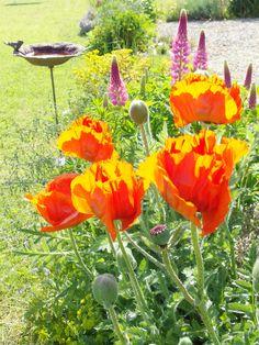 Pavot d'Orient - floraison mai