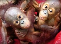 Forest preschool teaches rescued baby orangutans how to live in the wild | Inhabitots