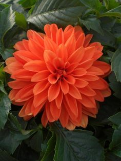 ~~Mango Tango ~ Tried & True's new Dahlinova series of dahlia, is excellent for garden bedding and small containers due to it's compact shape and sturdy habit. It produces an abundance of vibrant orange double blooms. Eye-catching for both humans and butterflies~~