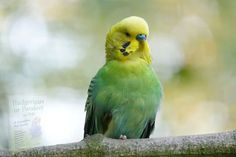Parakeet Care, Cages For Sale, Budgies, Parrots, Pet Care, Pet Birds, Most Beautiful Pictures, Creatures, Animals