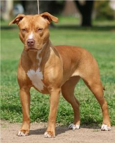 Dog of the week: American Pit bull Terrier | All about dogs