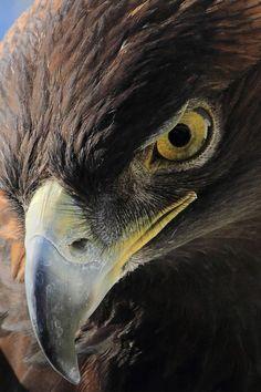 Golden Eagle | Sumer Tiwari More