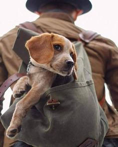 Are you interested in a Beagle? Well, the Beagle is one of the few popular dogs that will adapt much faster to any home. Whether you have a large family, p Cute Puppies, Cute Dogs, Dogs And Puppies, Doggies, I Love Dogs, Puppy Love, Cute Senior Pictures, Dog Pictures, Animals And Pets