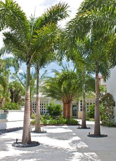 queen palms for pool Casey Key beachfront home - tropical - Landscape - Tampa - ArtisTree Landscape Maintenance & Design