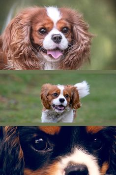 In regards to looks, character, and knowledge, the Cavalier King Charles Spaniel is just one of one of the most preferred breeds in America. Understood as the Cocker Spaniel, the Cavalier is a cross between a cocker and a spaniel. While it's not a challenging breed to train, it does have some special attributes that set it in addition to other breeds. Helpful Hints For Training A Properly-Behaved Dog A pet dog, as much say, is man's closest friend. This can quickly be reversed along  Cavalier King Charles Dog, King Charles Spaniel, Pet Dogs, Pets, England And Scotland, Cocker Spaniel, Helpful Hints, Corgi, Knowledge