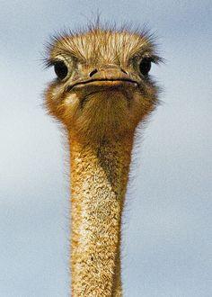 fed an ostrich