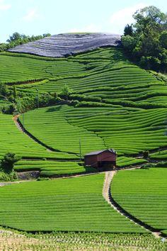 京都和束町(わづかちょう)の美しい茶畑